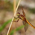 Dragonfly Looking At You by Laurel Talabere