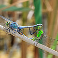 Dragonfly Love by Everet Regal