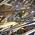 Dragonfly Love by Steve McKinzie