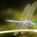 Dragonfly by Michelle Cassella