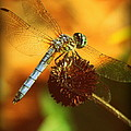 Dragonfly On A Dried Up Flower by Tam Graff