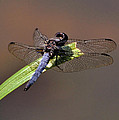 Dragonfly On Goose Feather Pond  - C2121b by Paul Lyndon Phillips