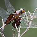 Dragonfly On The Tree by Dennis Pintoski