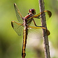 Dragonfly Photo - Yellow Dragon by Travis Truelove