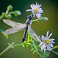 Dragonfly by Rebecca Samler