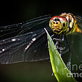 Dragonfly by Samuel Levine