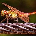Dragonfly by Shawna Gibson
