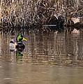 Drake In The Pond by LeeAnn McLaneGoetz McLaneGoetzStudioLLCcom
