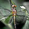 Drangonfly by Jim DeLillo