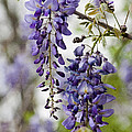 Draping Lavender Purple Wisteria Vines by Kathy Clark