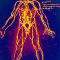 Drawing Of Human Venous System (leonardo Da Vinci) by Mehau Kulyk
