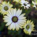 Dream Daisy by Arlene Carmel