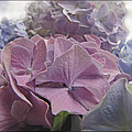 Dream Hydrangeas by Debbie Portwood