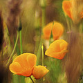 Dream Poppies by Ralph Vazquez
