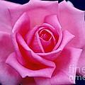 Dream Rose by Byron Varvarigos