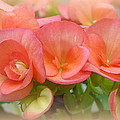 Dreamy Begonias by Carla Parris