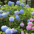 Dreamy Blue And Pink Hydrangeas by Teresa Mucha
