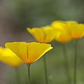 Dreamy California Poppies - Eschscholzia Californica by Kathy Clark