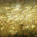 Dreamy Daises by Randall Nyhof
