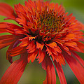 Dreamy Hot Papaya Coneflower Bloom by Teresa Mucha