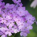 Dreamy Lavender Phlox by Teresa Mucha