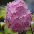 Dreamy Pink Mophead Hydrangea Squared by Teresa Mucha