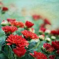 Dreamy Red Mums by Charrie Shockey