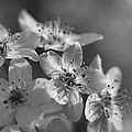 Dreamy Spring Blossoms In Black And White by Kathy Clark