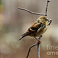 Drenched Finch by Cheryl Baxter