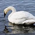 Dribbling Swan by Larry Ricker