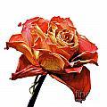 Dried Rose by Bernard Jaubert
