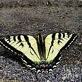 Driveway Butterfly by Sherman Perry