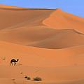 Dromedary Camelus Dromedarius Camel by Cyril Ruoso