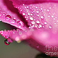 Droplet On Rose Petal by Kaye Menner