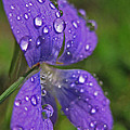 Drops On The Purple Flower by Mary Anne Williams