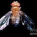 Drosophila With Dichaete Wings by Science Source