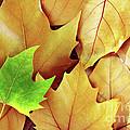 Dry Fall Leaves by Carlos Caetano