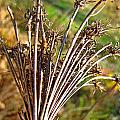 Dry Queen Anns Lace I by Debbie Portwood