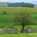 Dry Stone Wall And Twisted Tree by Louise Heusinkveld