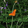 Dryas Iulia  Butterfly by Kim French