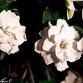 Dual Gardenias by Steve Knievel