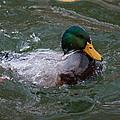 Duck Bathing Series 1 by Craig Hosterman