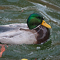 Duck Bathing Series 4 by Craig Hosterman