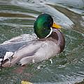 Duck Bathing Series 5 by Craig Hosterman