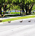 Duck Crossing by David Lee Thompson