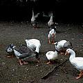 Duck Duck Goose by LeeAnn McLaneGoetz McLaneGoetzStudioLLCcom