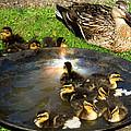 Duck Family Joy In Garden  by Colette V Hera  Guggenheim