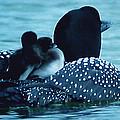 Duck Family Joy In The Lake  by Colette V Hera  Guggenheim