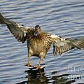 Duck Landing by Mats Silvan