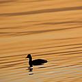 Duck On Golden Water by Rico Besserdich